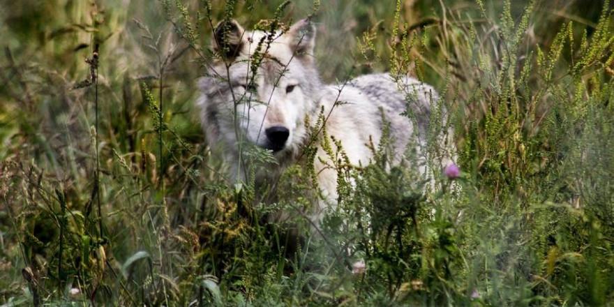 """Wieviel """"echter"""" Wolf steckt in den Wölfen, die wir hier in Deutschland so streng schützen? (Beispielbild: skeeze)"""