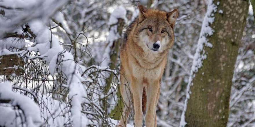Die schwedische Staatsanwaltschaft ist immer noch auf der Suche nach einem toten Wolf, den es vielleicht gar nicht gibt. (Symbolbild: Marcel Langthim)