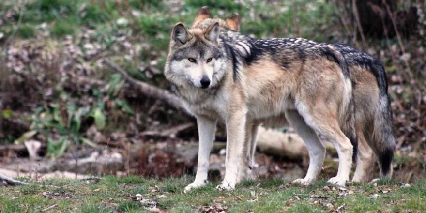 Zwei Wölfe (Beispielbild: Steve Felberg)