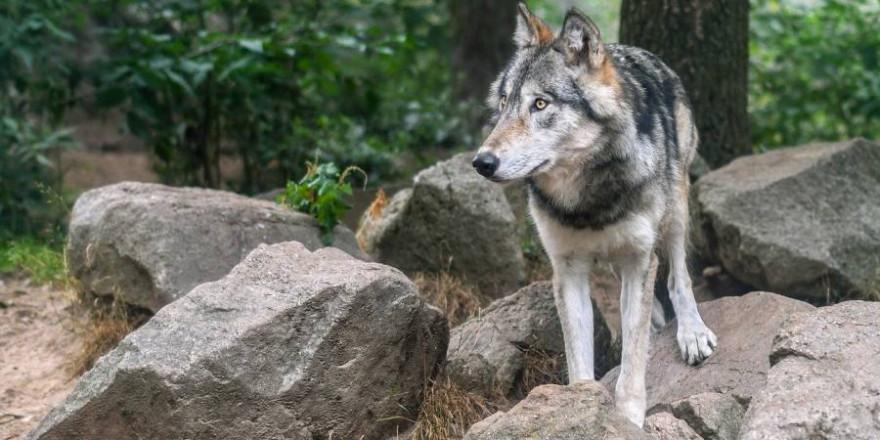 Einzelner Wolf im Bergwald (Foto: Christel Sagniez)