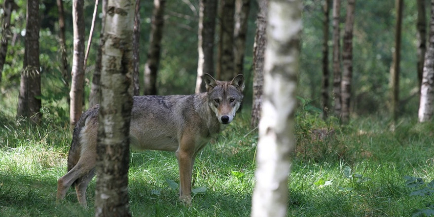 Einzelner Wolf im Birkenwald.