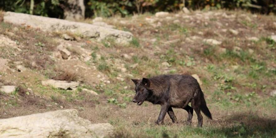 Ein weiblicher Hybrid mit schwarzem Fell wurde bereits erlegt - vier weitere Wolf-Hund-Mischlinge sollen noch übrig sein (Symbolbild: Kurt K.)