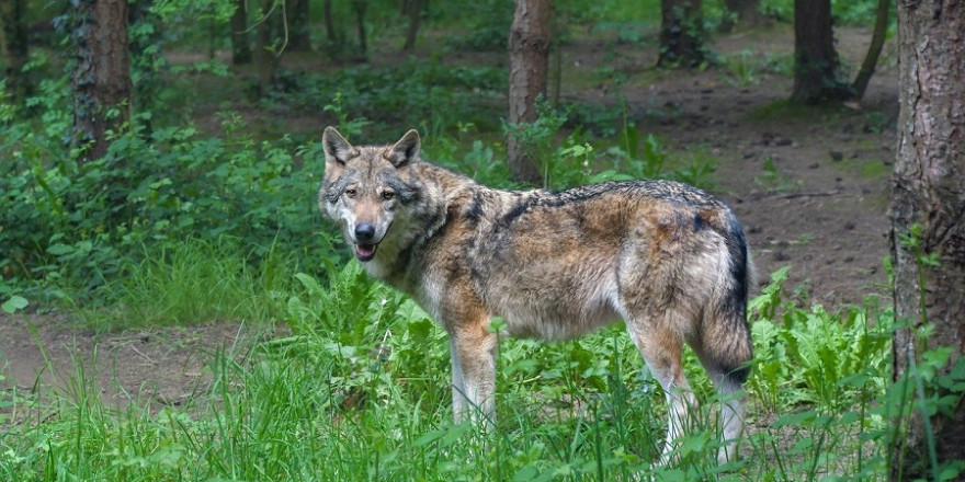 Der Pinneberger Problemwolf GW924m konnte trotz großen Aufwandes bis jetzt noch nicht erlegt werden.