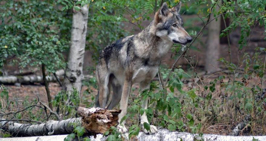 Einzelner Wolf im Wald (Foto: Insa Osterhagen)