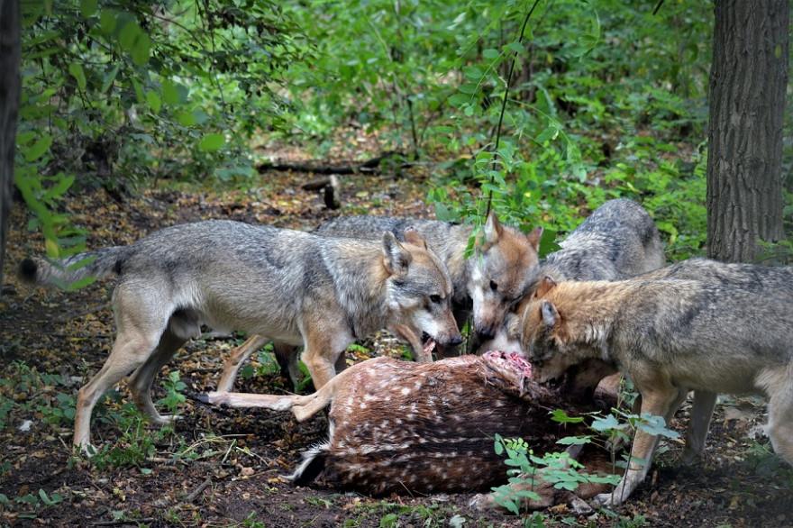 Wölfe reißen Stück Damwild