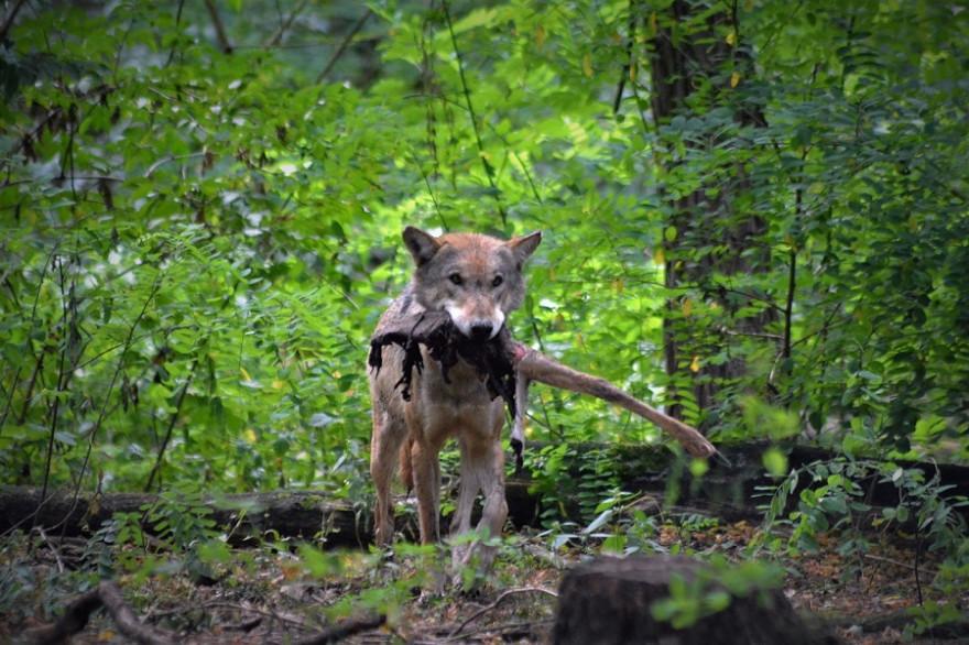 Wolf mit Fraß
