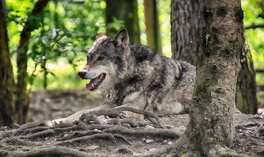 Wolf im Gehege