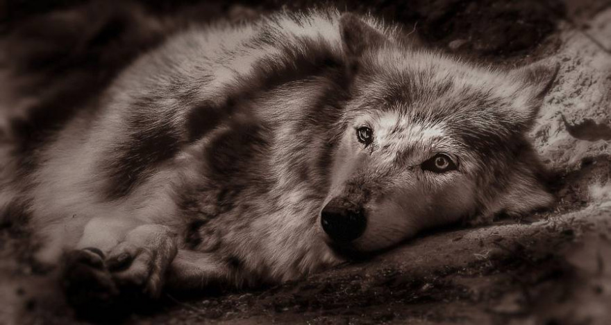 Liegender Wolf (Symbolbild: Christine Sponchia)