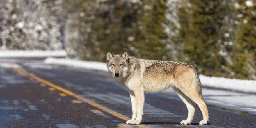Ein einzelner Wolf kann an einem Tag bis zu 72 Kilometer zurücklegen (Beispielbild: skeeze)