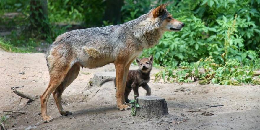 Wölfin mit einem Welpen (Symbolbild: Manfred Richter)