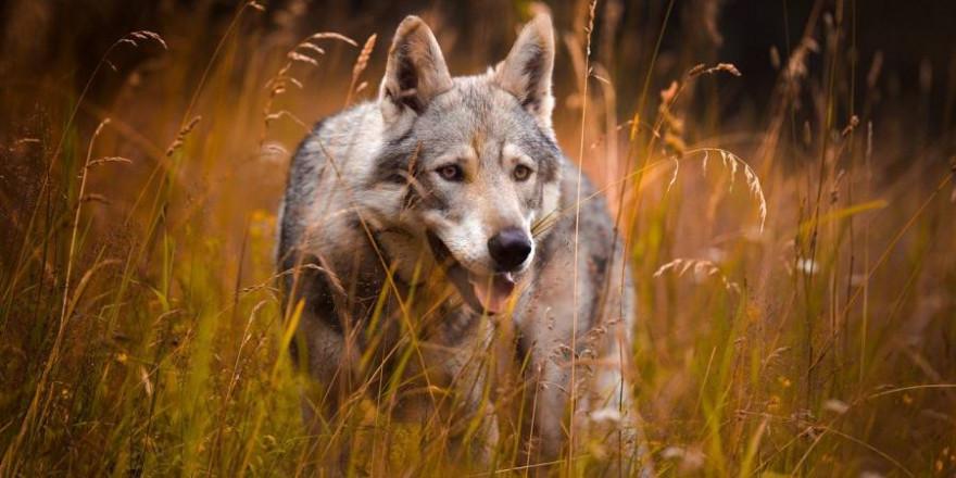 Wolf in einem Feld (Foto: Šárka Jonášová)