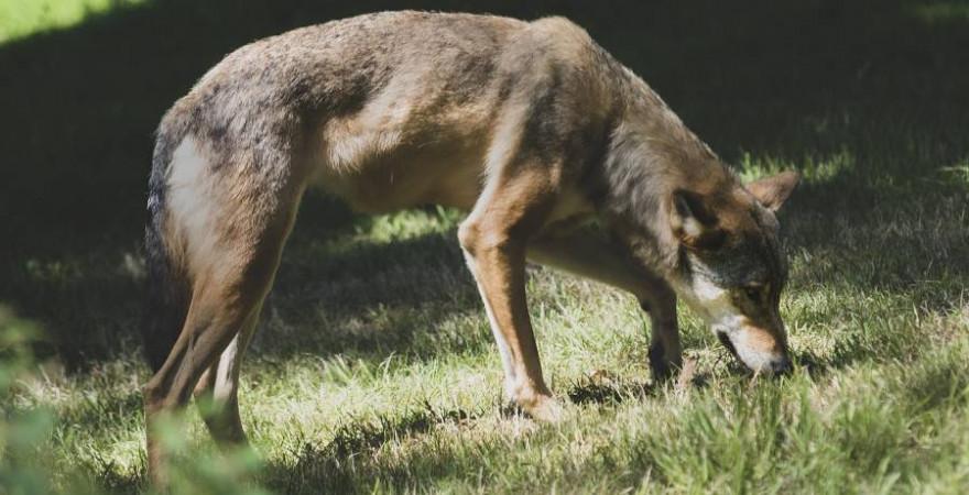 Ein Wolf (Symbolbild: jamie_skey)