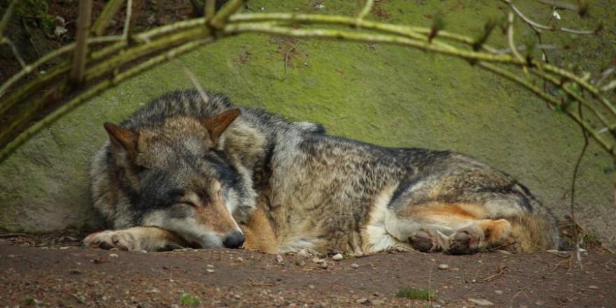Ein schlafender Wolf (Symbolbild: Azuras Welt)