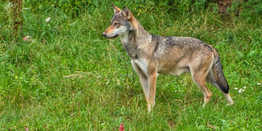 Ein Wolf (Symbolbild: Stephanie S.)