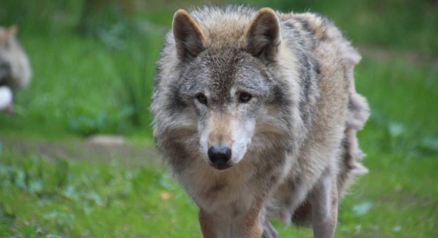 Ein Wolf (Symbolbild: Sunak)