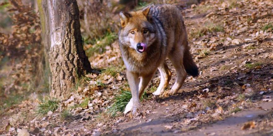 Ein Wolf (Symbolbild: Károly Megyeri)