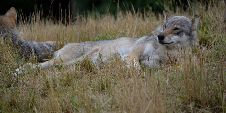 Zwei liegende Wölfe (Symbolbild: Claus Norgaard)