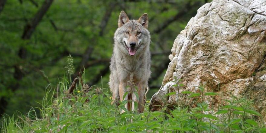 Ein Wolf neben einem Felsen stehend (Symbolbild: Franz W.)