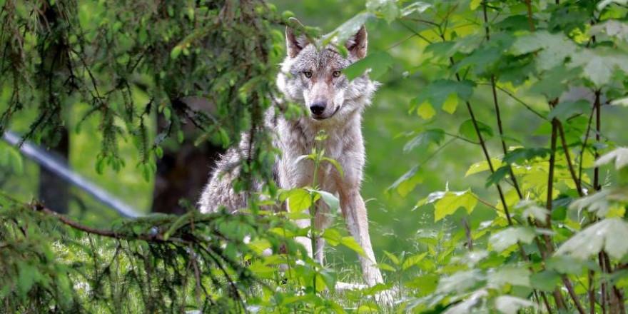 Ein Wolf im Wald (Symbolbild: Franz W.)