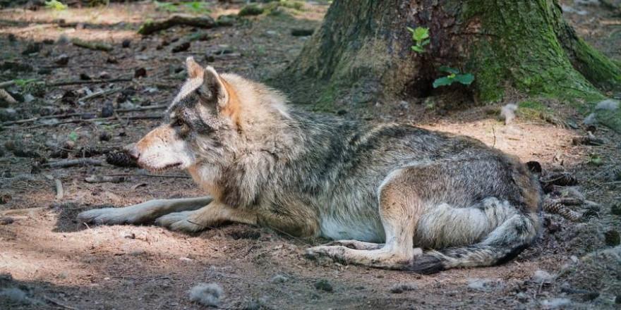 Ein Wolf auf dem Waldboden liegend (Symbolbild: Manfred Antranias Zimmer)
