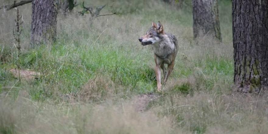 Ein Wolf (Symbolbild: jhenning_beauty_of_nature)