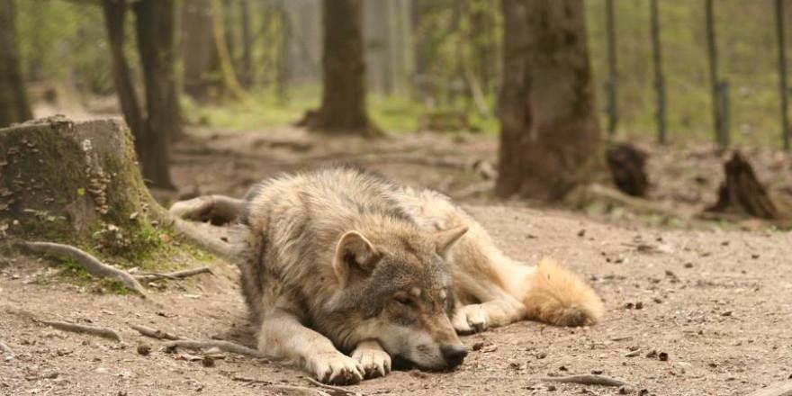 Liegender Wolf (Symbolbild: Andreas Roth)
