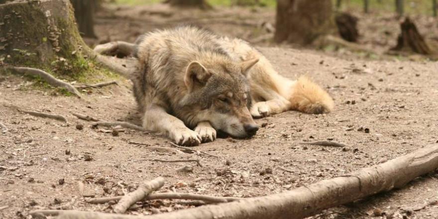 Ein liegender Wolf (Symbolbild: Andreas Roth)