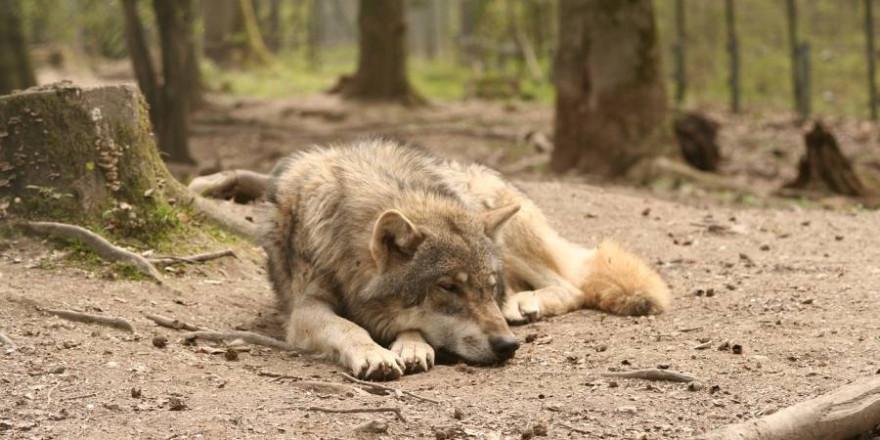 Ein auf dem Waldboden liegender Wolf (Symbolbild: Andreas Roth)