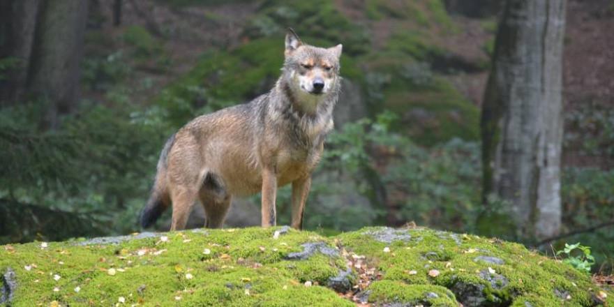 Einzelner Wolf auf einem Felsen (Foto: Meli1670)