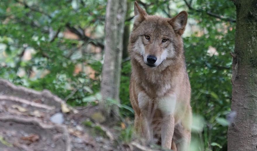Wolf blickt in die Kamera