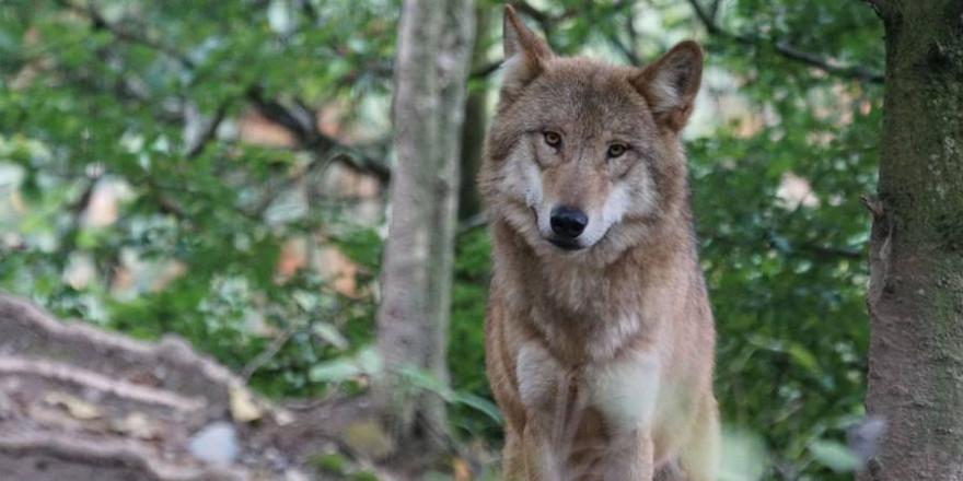 Ein Wolf im Wald (Beispielbild: Marcel Langthim)