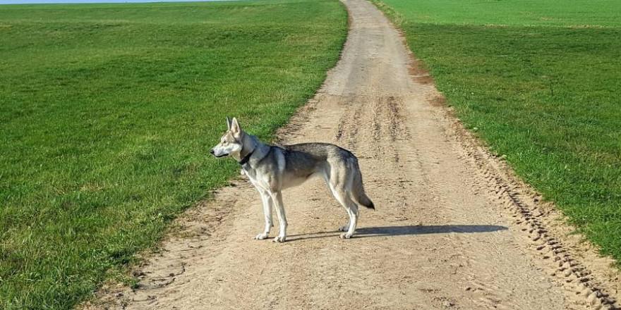 Der wildernde Hund war schon des Öfteren mit einem Wolf verwechselt worden (Beispielbild: Alexandra Schmitt)