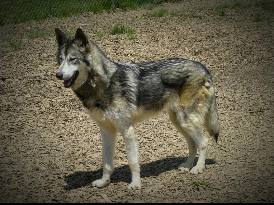 Wolfsmischling