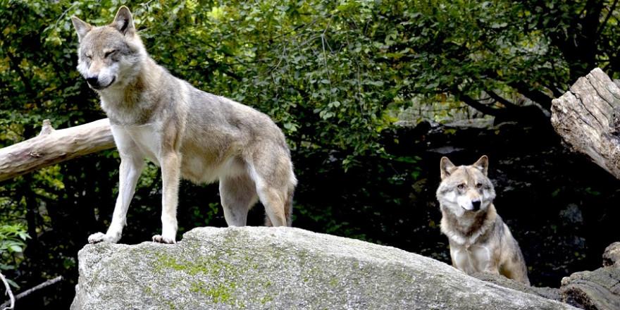 Wölfe im Gebirge