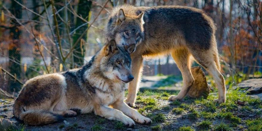 Zwei Wölfe (Symbolbild: 4931604)
