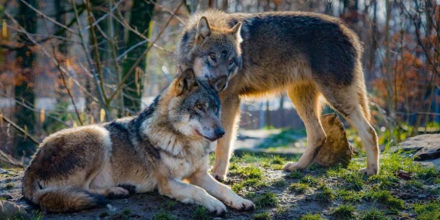 Zwei Wölfe (Beispielbild: 4931604)