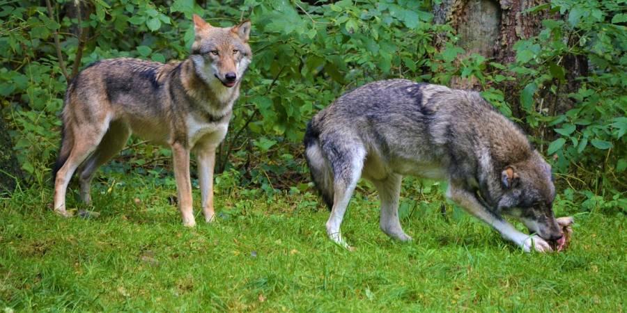 Zwei Wölfe (Symbolbild: Olle August)