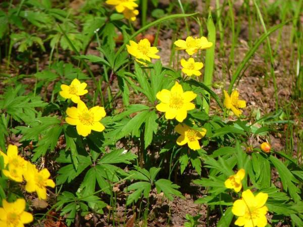 Gelbes Buschwindröschen (Foto: LoggaWiggler)