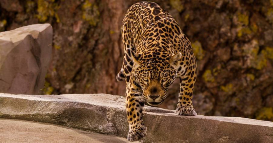 Jaguar (Foto: edmondlafoto)