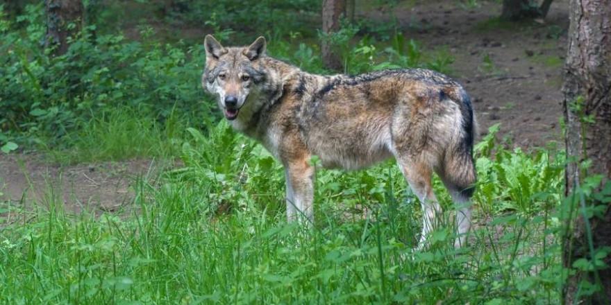 Ein Wolf (Symbolbild: Christel SAGNIEZ)