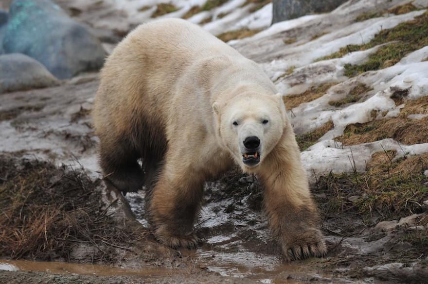 Eisbär auf Streifzug