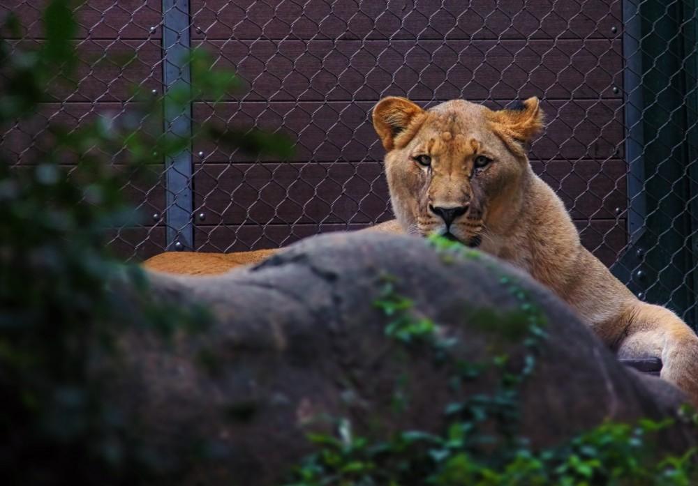 Löwe eingezäunt