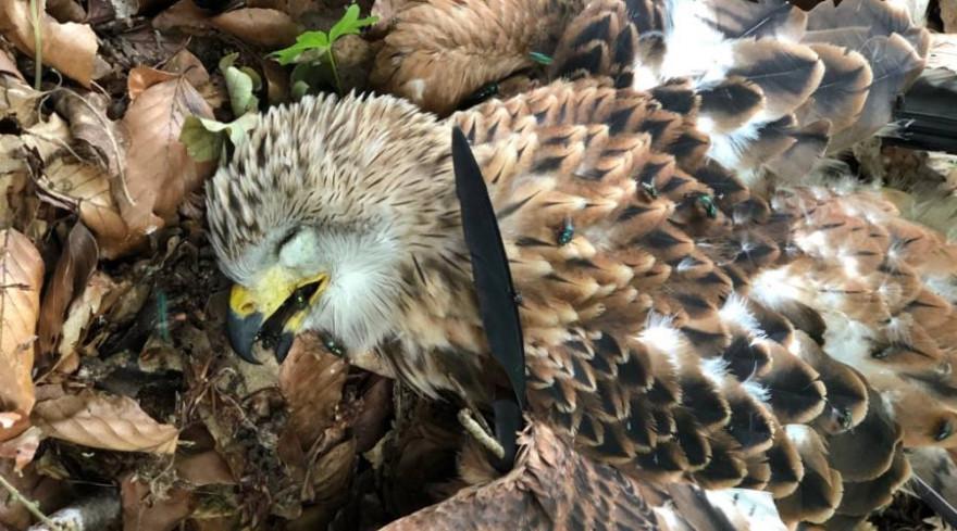Der tote Rotmilan-Jungvogel, der am 26.06.21 aus dem Nest nordöstlich von Neumünster fiel. (Quelle: © LLUR)