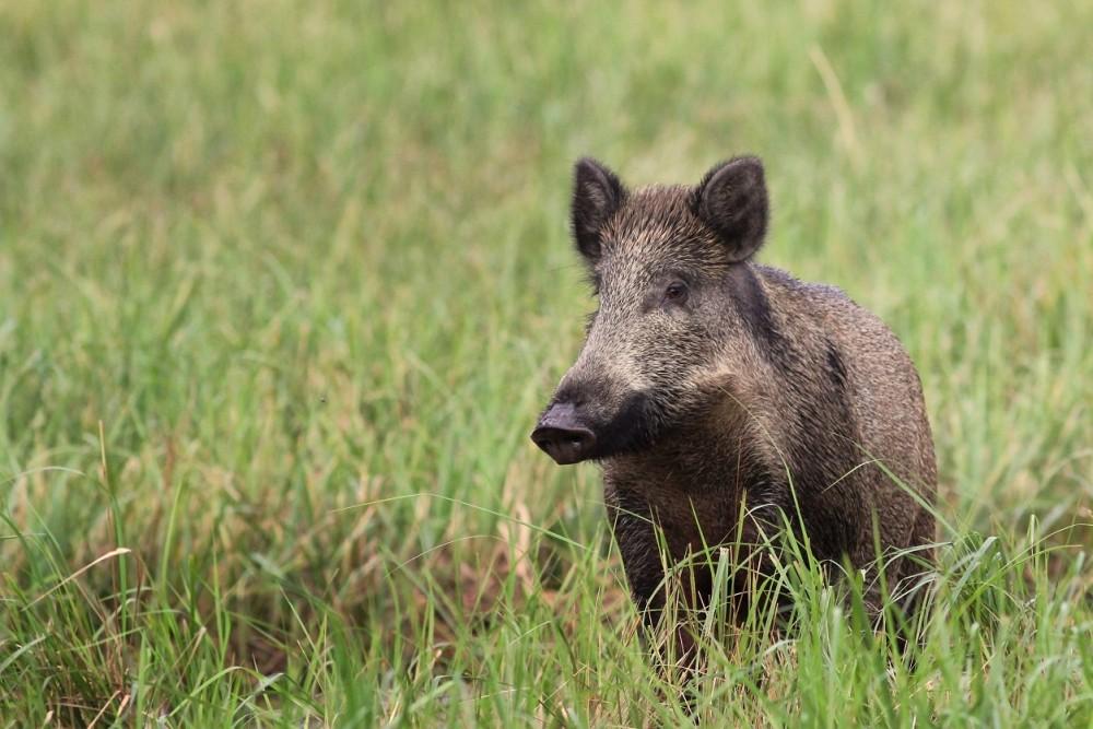Ein Wildschwein in der Wiese.