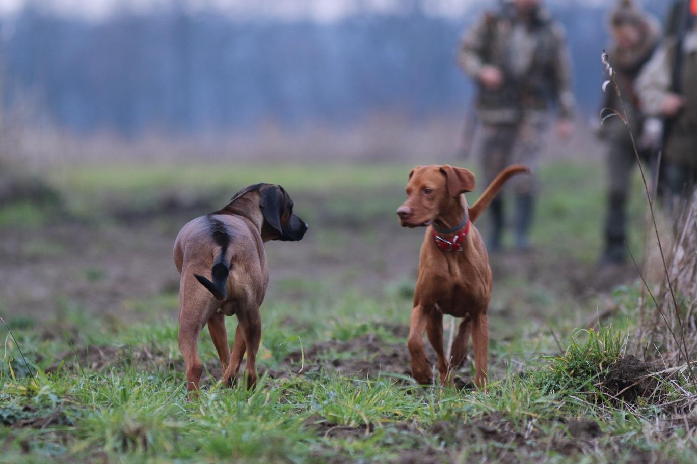 Zwei Hunde bei einer Gesellschaftsjagd