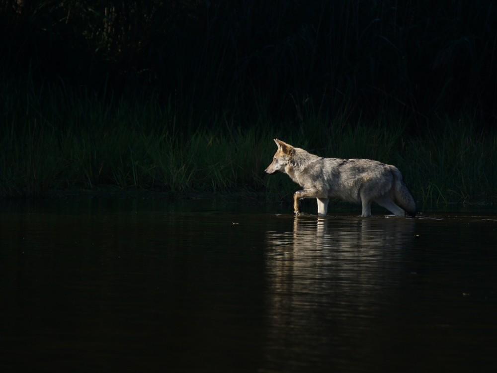 Wolf watet durch Wasser