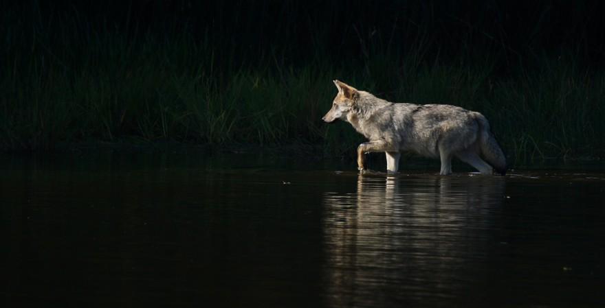 Wolfswelpe in Gewässer