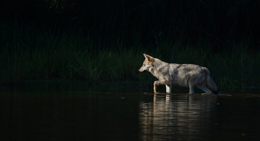 Tobias Bürger – Wolfswelpe