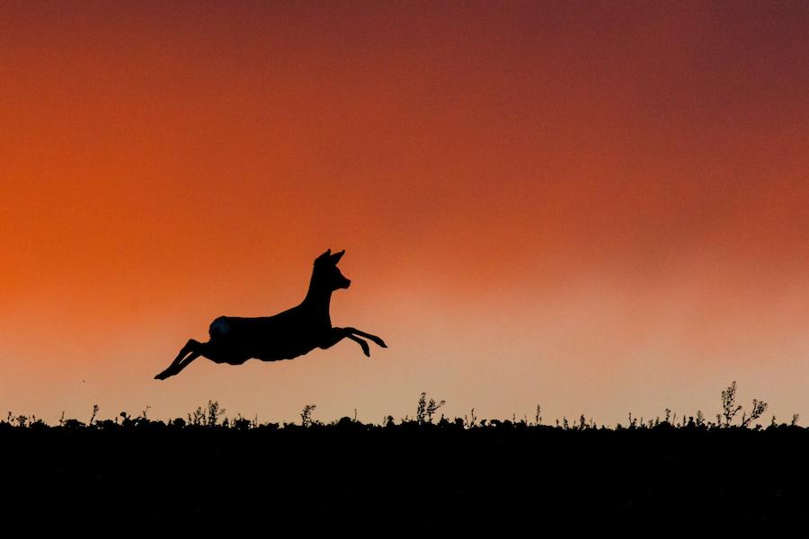 Rehwild flüchtet im Sonnenuntergang
