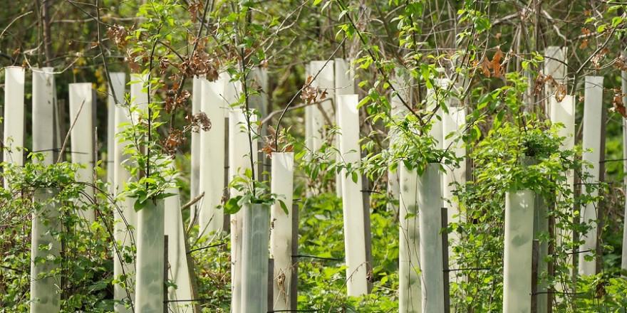 Forstpflanzung mit Einzelschutz